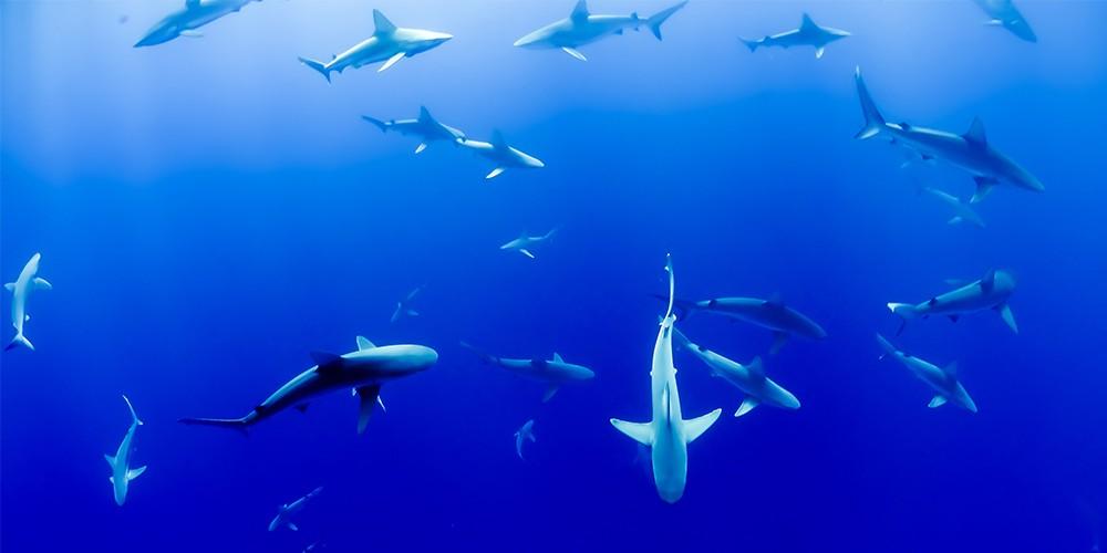 sharks newweb