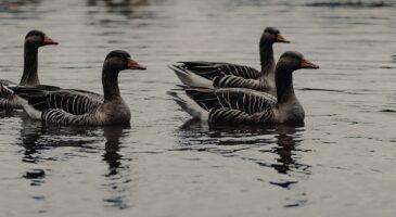 Serene ducks paddling fast on CBDC